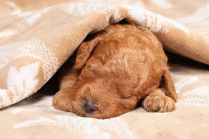 standard poodle puppy taking a nap