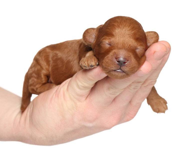 one week old poodle puppy