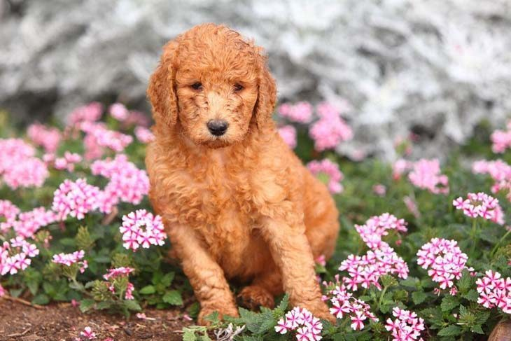 standard poodle puppy in a flower field