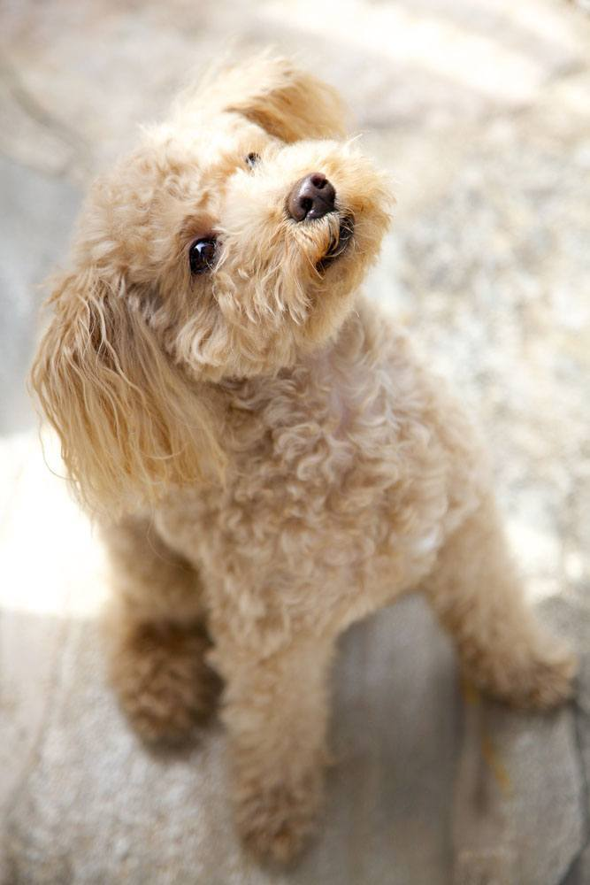 toy poodle puppy looking for a treat