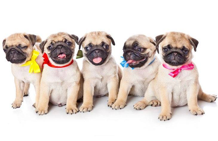pug puppies that know they're cute