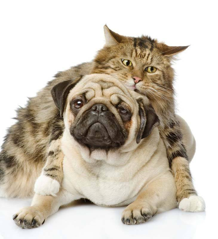 pug and it's cat buddy