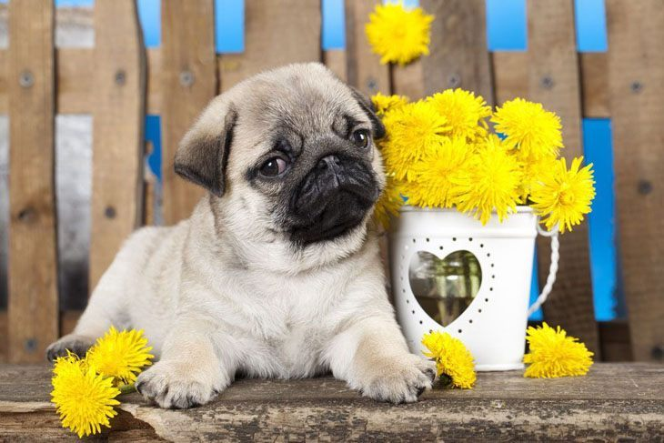 pug posing with flowers