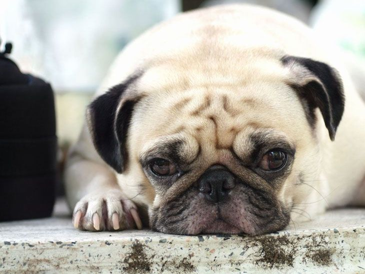 bored Pug looking for a new friend