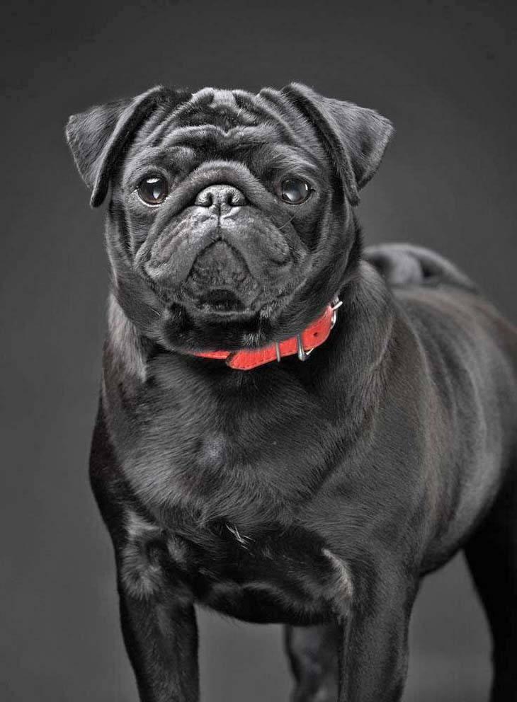 beautiful black Pug