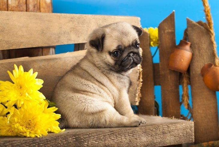 lonely pug puppy