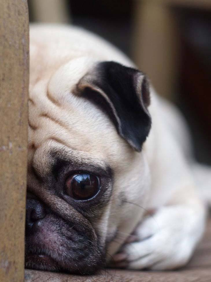 this pug has lost it's ball and now doesn't know what to do