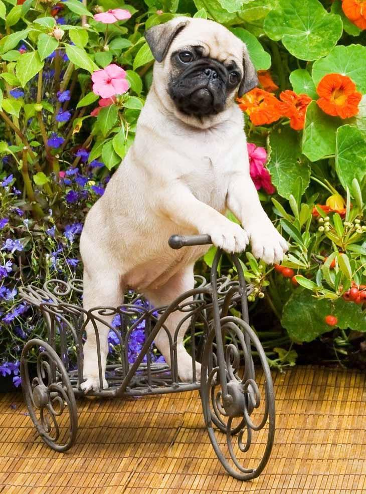 pugs aren't always good at riding bikes