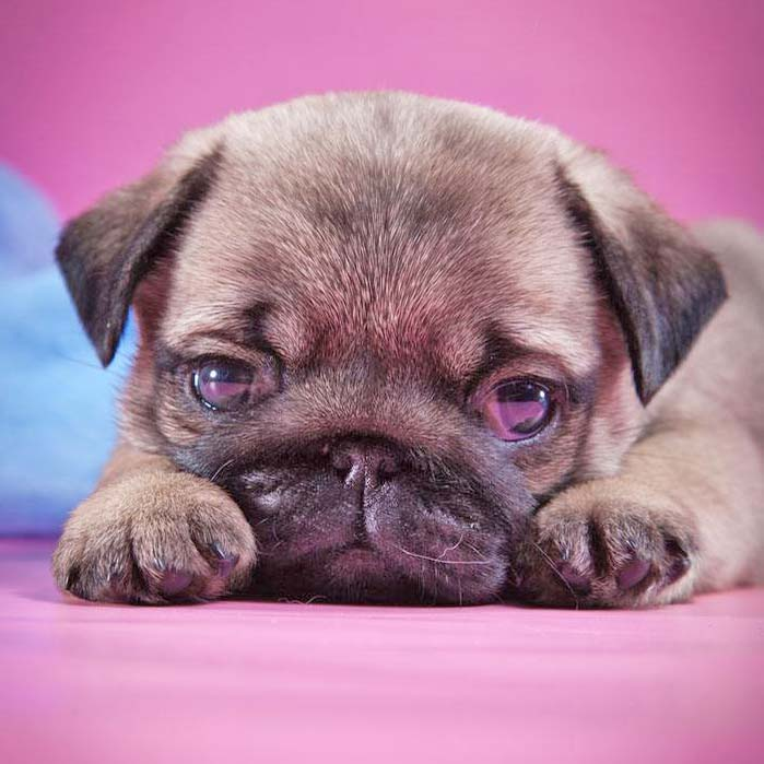 Cute pug puppy pondering life