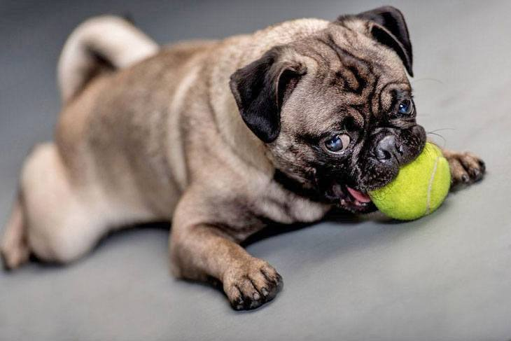 this pug loves it's ball