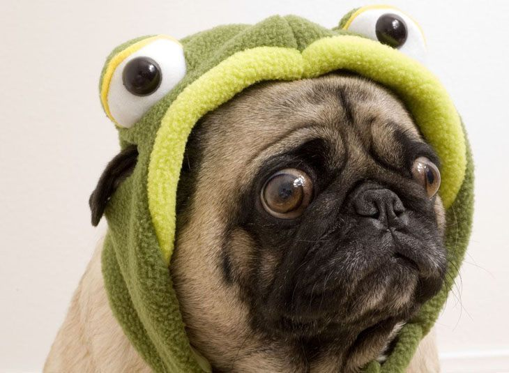 funny pug dressed in a frogs costume