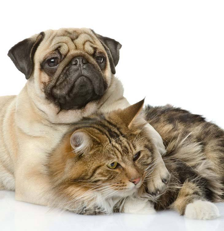 pug and his cat buddy