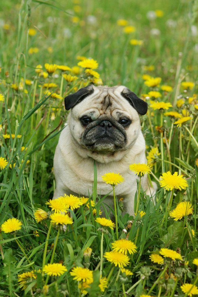 pug in a field of flowers