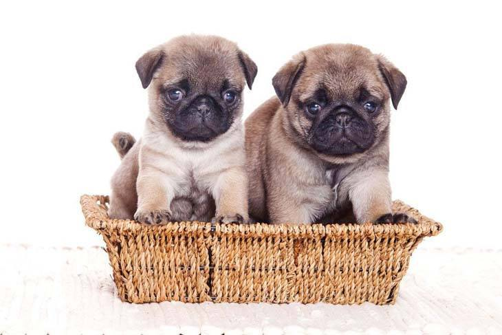 cute pug puppies