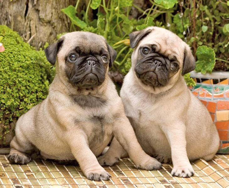 these pug puppies know they're cute