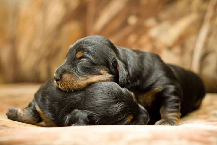 napping puppies dreaming about playtime
