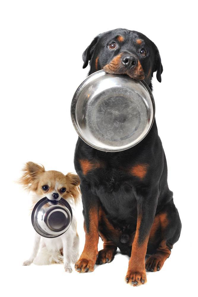 hungry rottweiler and chihuahua