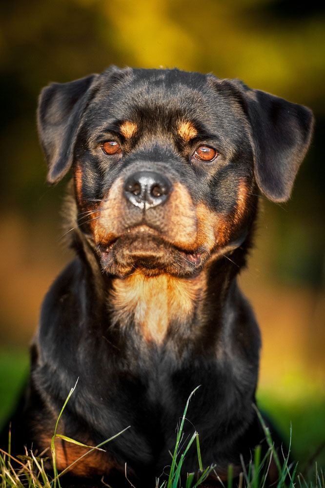 rottweiler staring at something