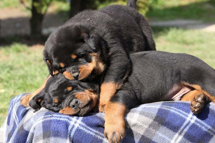 two rottweiler puppies wrestling