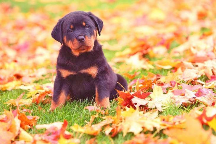 rottweiler puppy looking for a playmate