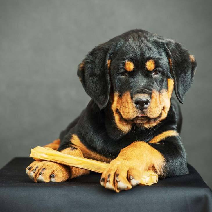 rottweiler pup looking at what you're eating