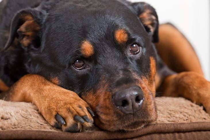 rottweiler looking for some affection