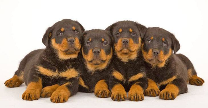 rottie pups waiting for dinner