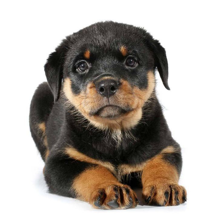rottie puppy looking for a friend
