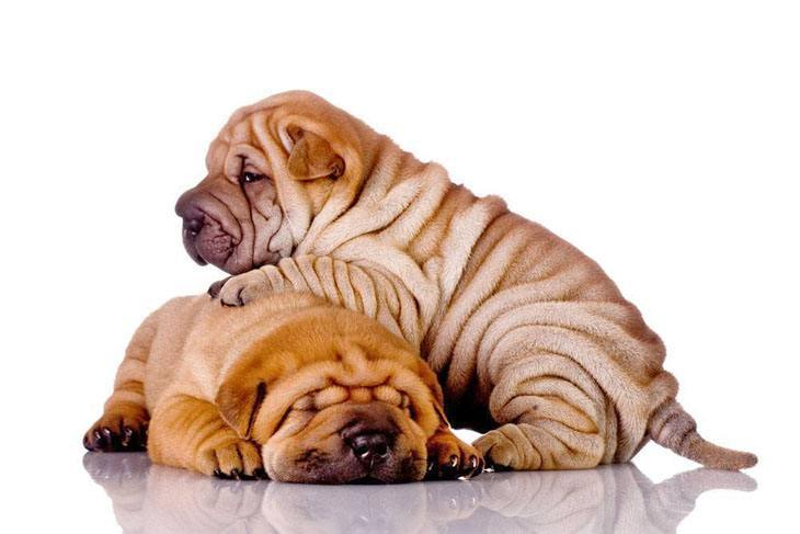 shar pei puppies taking a nap