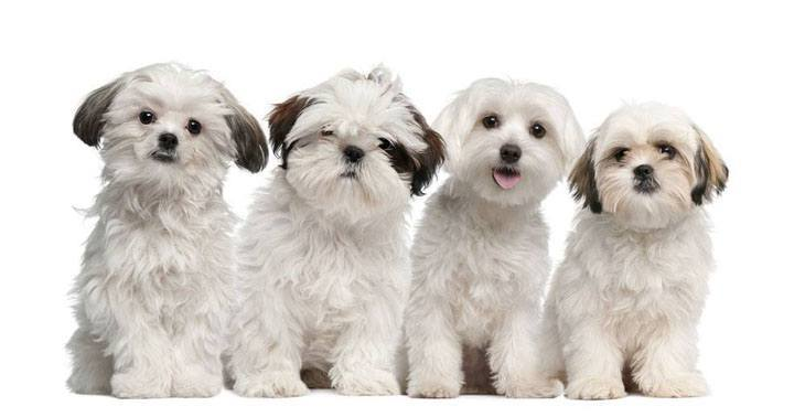 shih tzu and maltese puppies