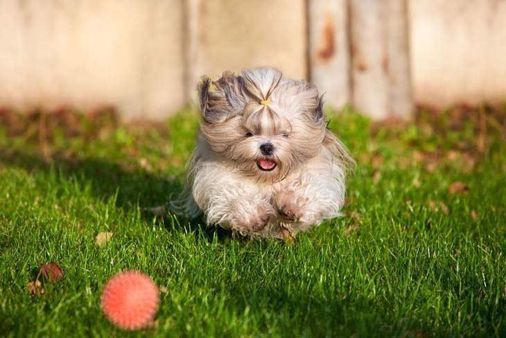 shih tzu puppy playing ball