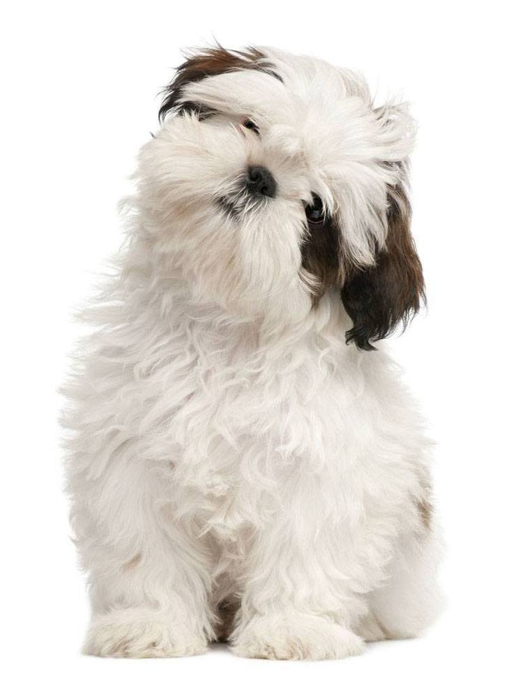 shih tzu puppy staring at you