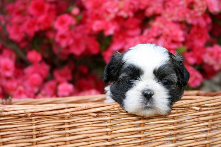 shih tzu puppy in a basket