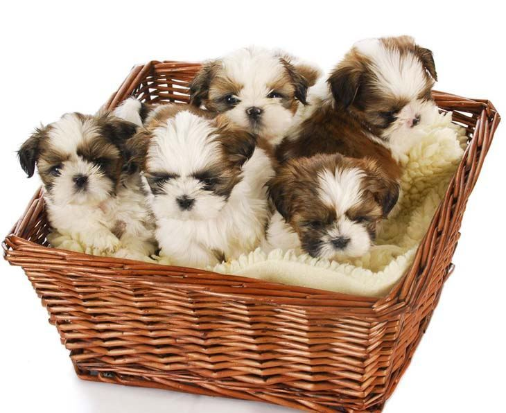 shih tzu puppies in a basket