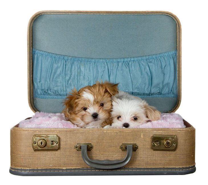 shih tzu puppies in a suitcase