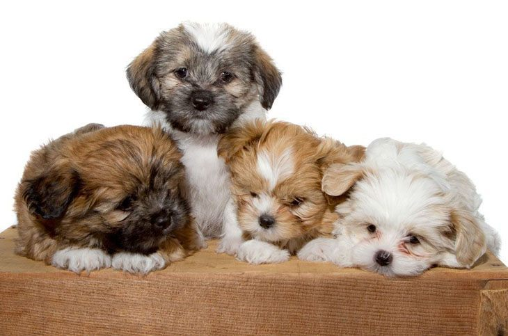shih tzu puppies ready to pounce
