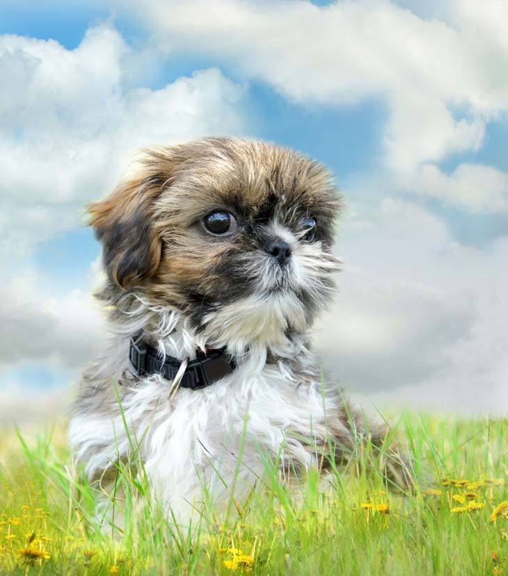 cute shih tzu puppy out in nature