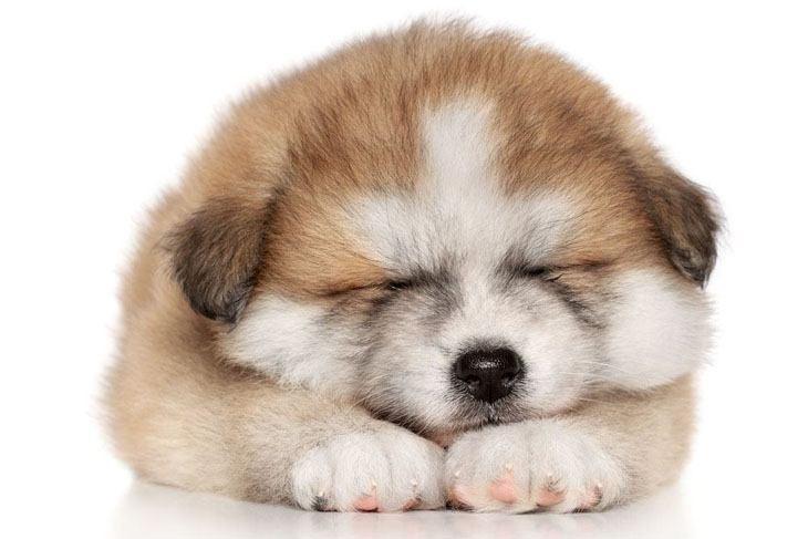 siberian husky puppy taking a nap