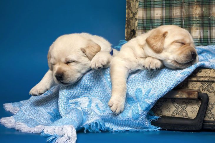 lab puppies taking a long nap