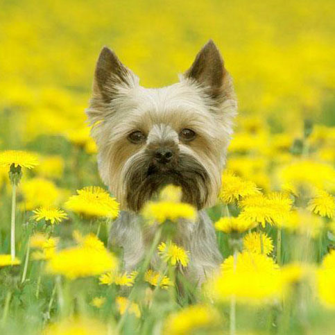 cute yorkie puppy poses in a field of flowers