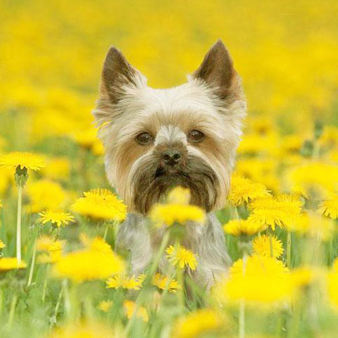yorkshire terrier puppy posing in a field