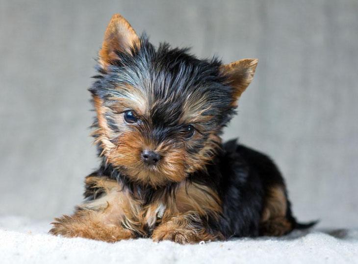 cute yorkie puppy wanting to play