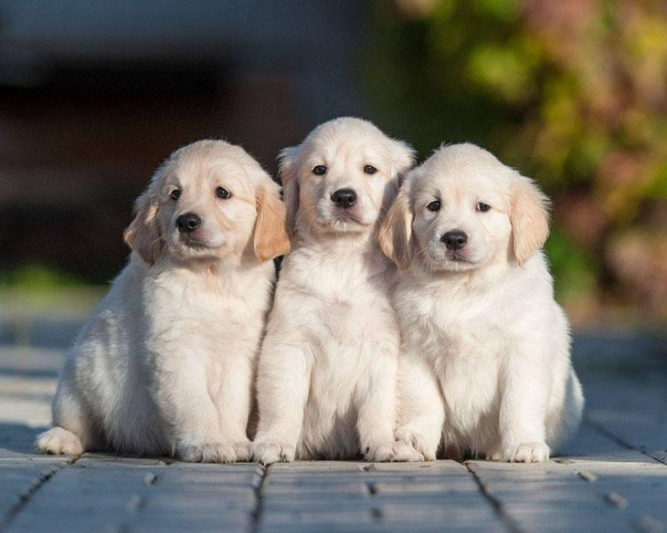 three golden retriever puppies looking cute