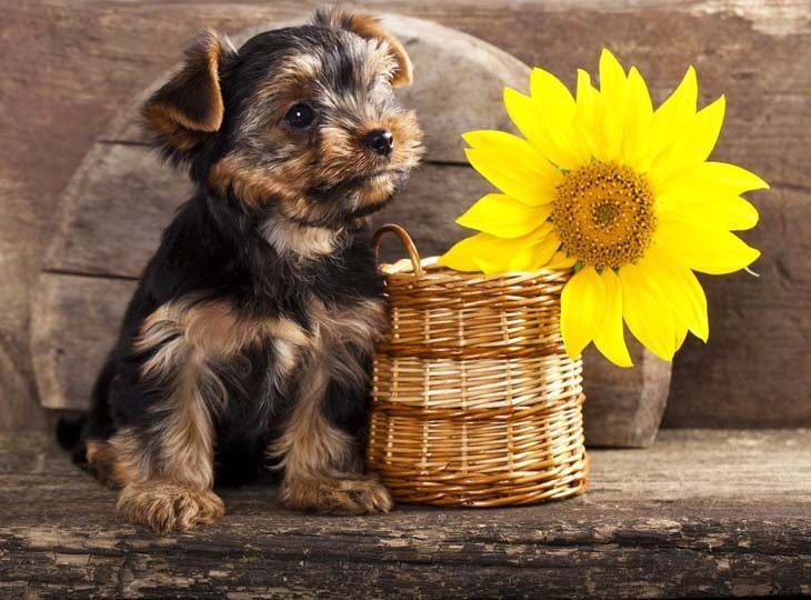 cute yorkie dog with a flower