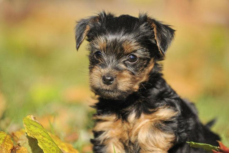 cute yorkie puppy looking for fun