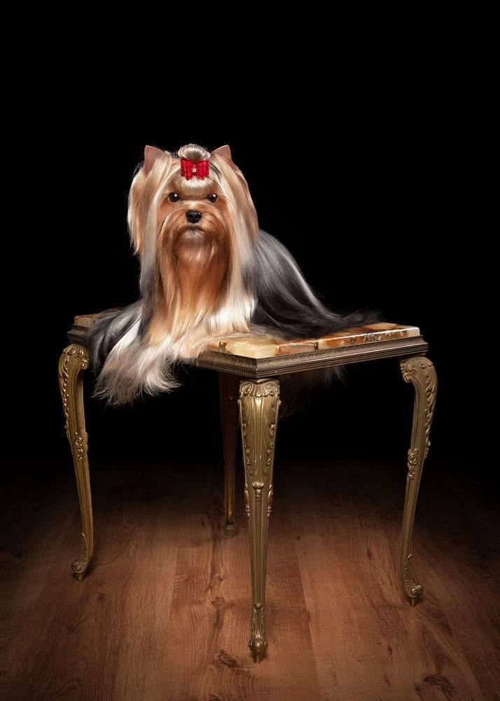 dignified yorkshire terrier