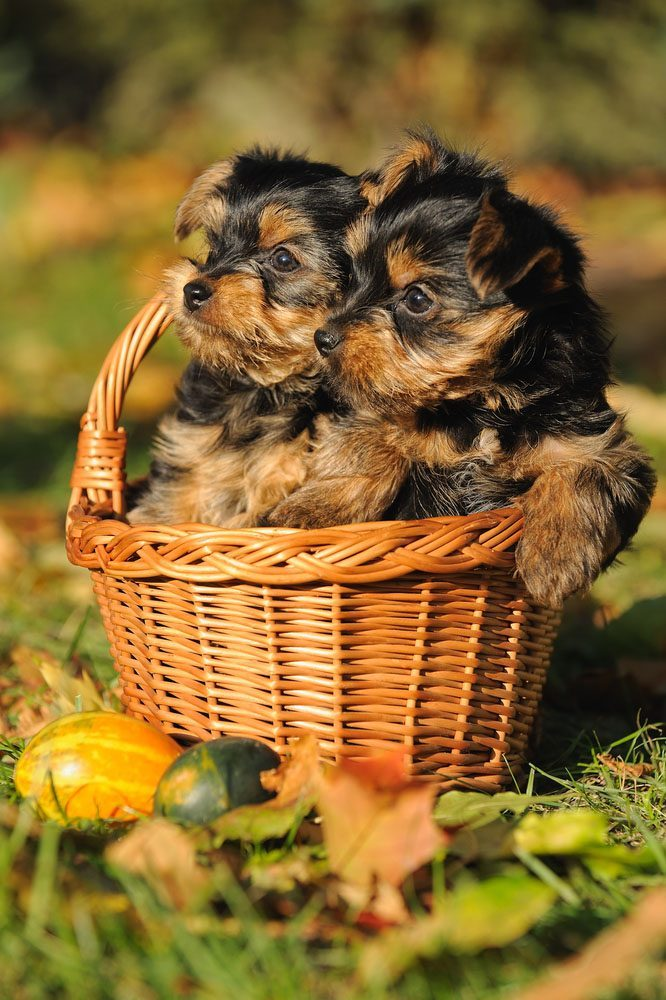 two cute yorkie pups that a looking for trouble