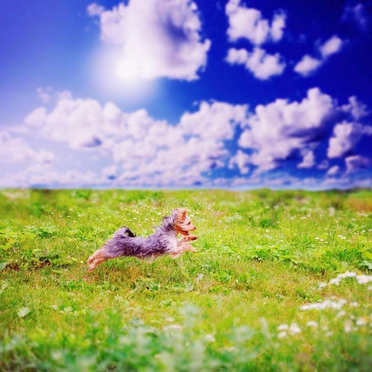 yorkshire terrier romping in a grass field