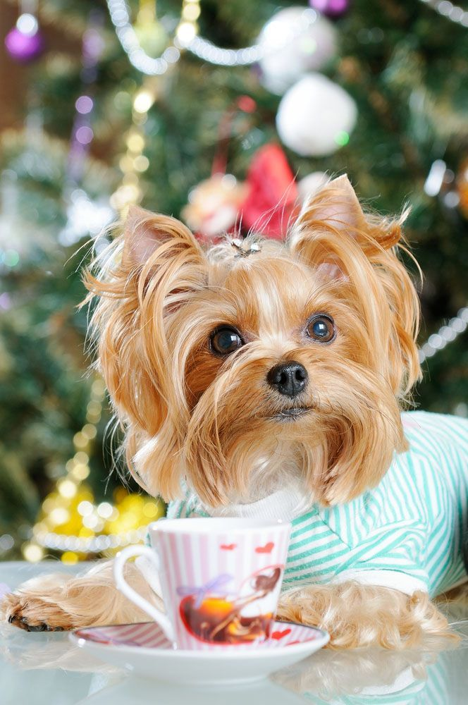 cute yorkshire terrier puppy having tea