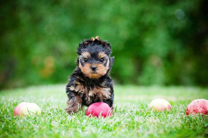 yorkshire terrier waiting for a playmate